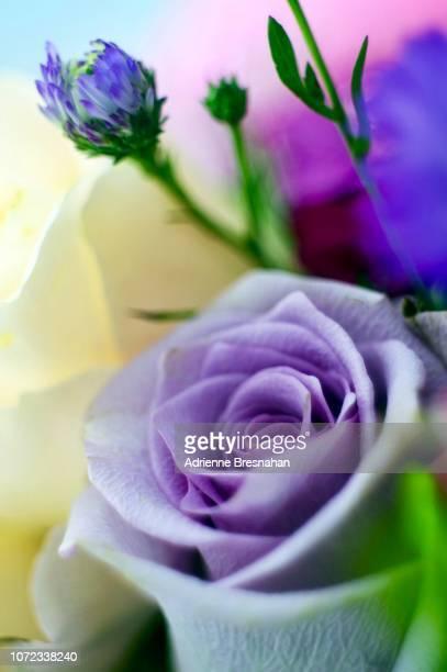 purple rose in bouquet - purple roses bouquet ストックフォトと画像