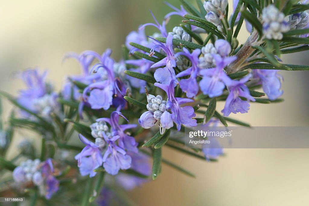 A purple Rosemary plant with flowers : Stock Photo