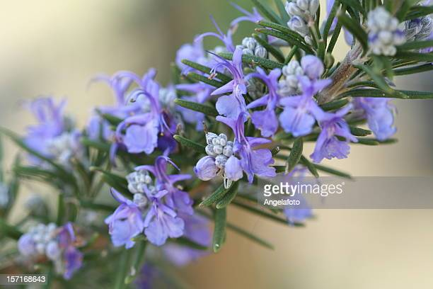 A purple Rosemary plant with flowers