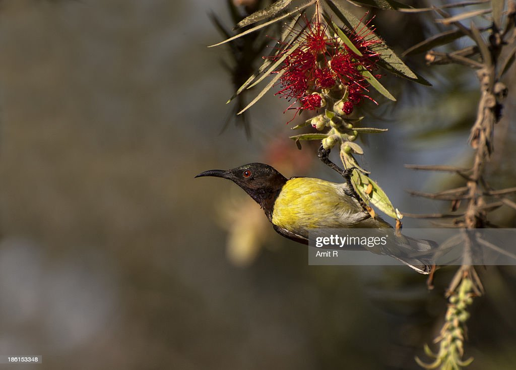 Sunbird stock photos and pictures getty images