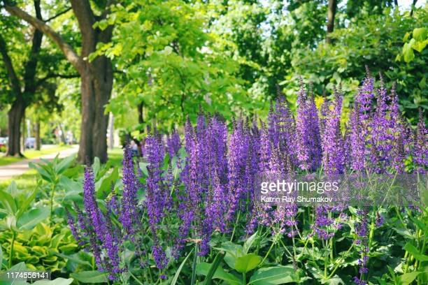 purple sage in green park - purple rain stock pictures, royalty-free photos & images