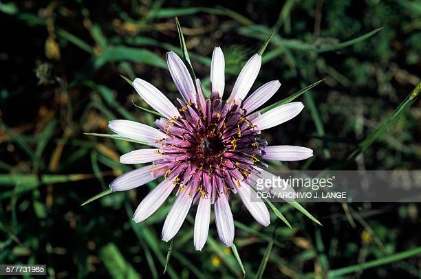 Purple Salsify Asteraceae Crete Greece