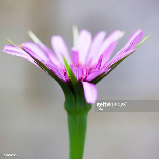Lila Schwarzwurzel Blume