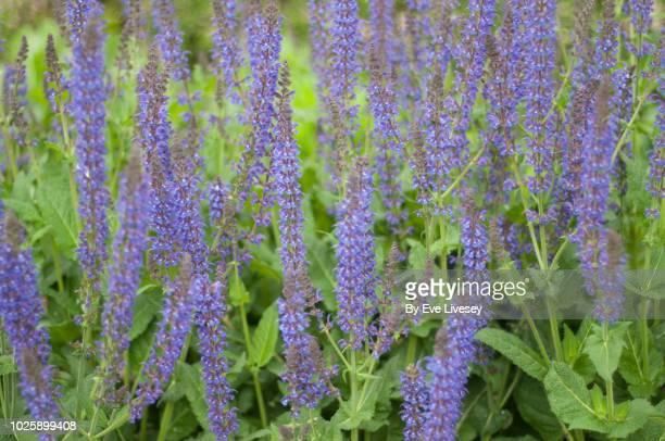 purple salvia sage flowers - purple rain stock pictures, royalty-free photos & images