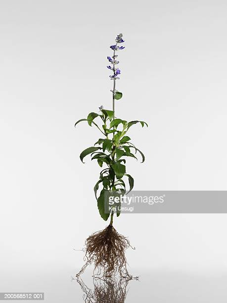 Purple salvia with roots, close-up