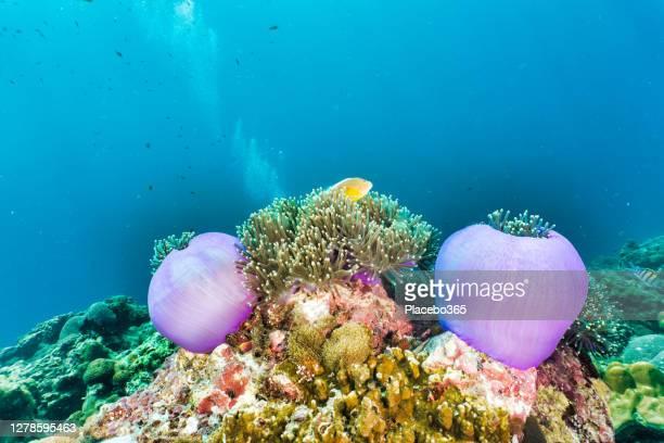 purple sea anémone sur le récif corallien sous-marin avec l'espace de copie - océan indien photos et images de collection
