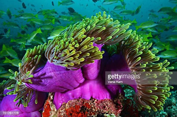 Purple sea anemone
