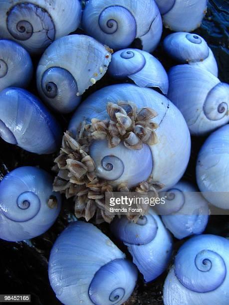 purple sea snails - coffs harbour stock pictures, royalty-free photos & images