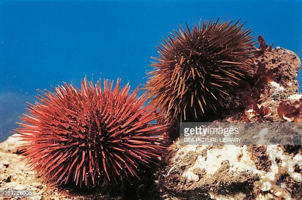 Purple sea urchins Echinidae