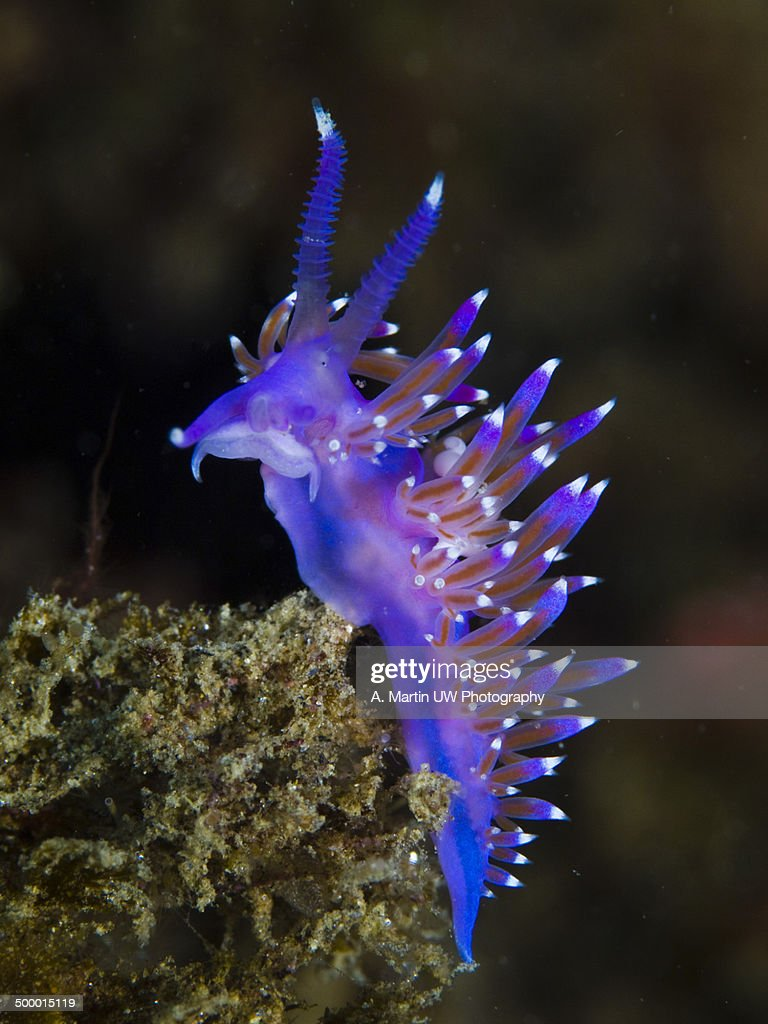 Purple seaslug : Stock-Foto