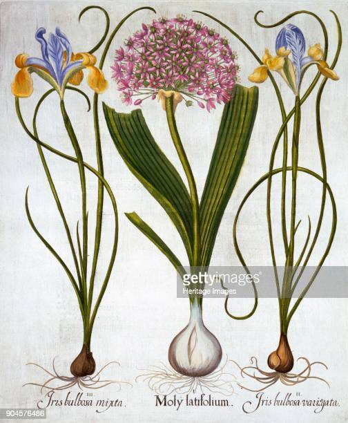 Purple Sensation and Spanish Irises from 'Hortus Eystettensis' by Basil Besler pub I Moly latifolium II Iris bulbosa variegata III Iris bulbosa mixta...