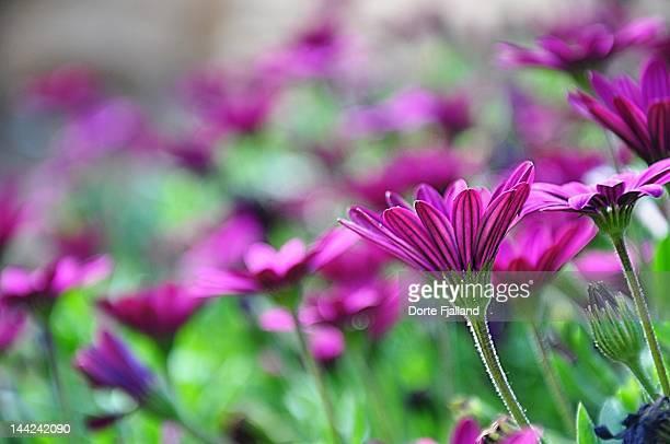 Purple spanish marguerites