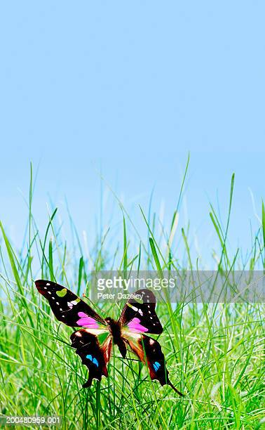 Purple spotted swallowtail butterfly (Graphium weiskei) on grass