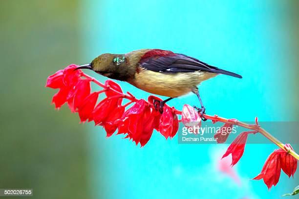 Purple Sunbird (Nectarinia asiatica)