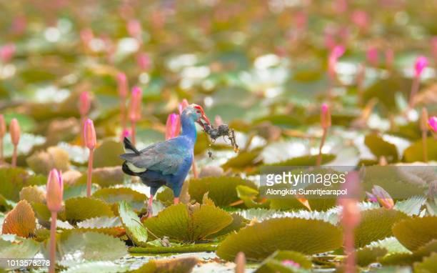 Purple Swamphen (Porphyrio porphyrio) on the pink lotus background Thale Noi Non-Hunting Area Phatthalung Province Thailand.