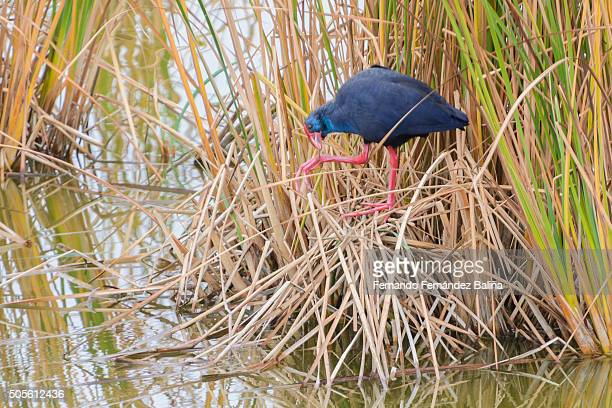 purple swamphen - ebro river stock photos and pictures