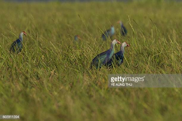 Purple swamphens gather at the Moe Yun Gyi wetlands in Bago Division around 70 miles north of Yangon on December 23 2015 Myanmar has one of the...