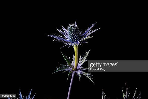 Purple Thistle Plant, Erygium Zabelli
