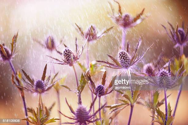 Purple tone Eryngo flower floral fine art photography. Closeup.