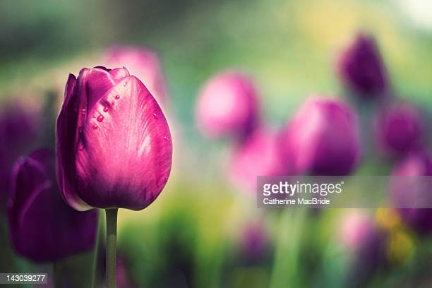 purple tulip - catherine macbride stock pictures, royalty-free photos & images