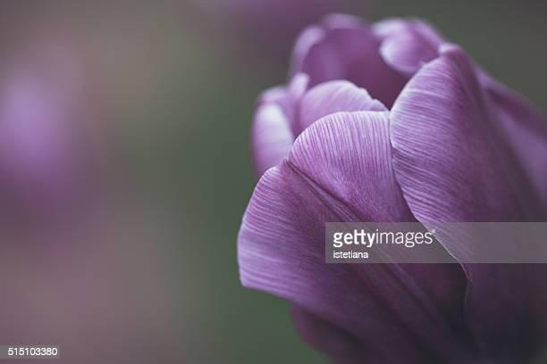 Purple tulip, single flower in selective  focus