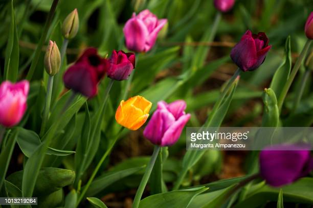 Purple tulips and a sole orange one among them