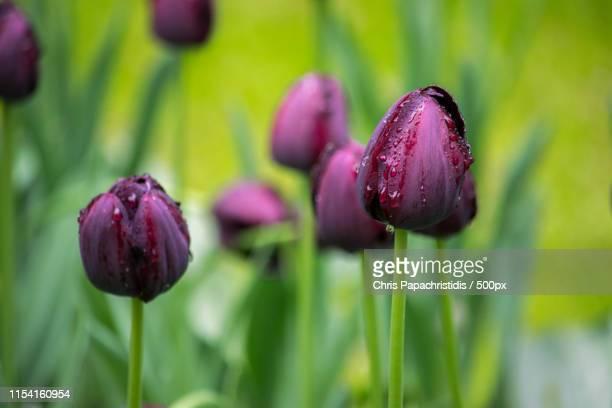 purple tulips - keukenhof gardens stockfoto's en -beelden