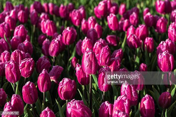purple tulips with raindrops - ignatius tan stock photos and pictures