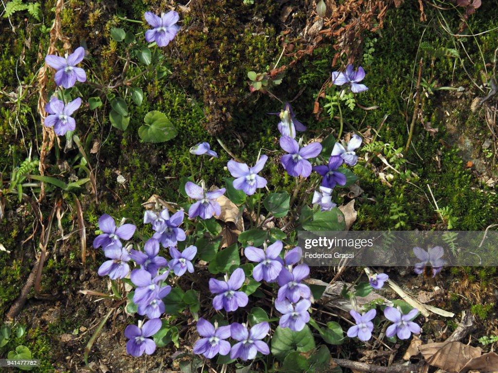 Purple Violets : Stock Photo