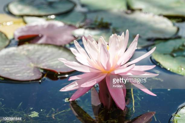 purple water lily blooming in summer