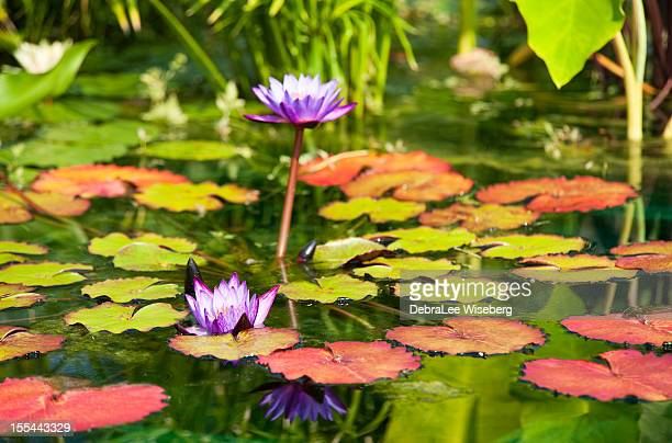 purple waterlily - water garden stock pictures, royalty-free photos & images