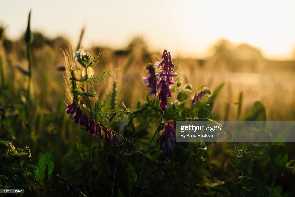 Purple wild flower in light of setting sun : Stock-Foto