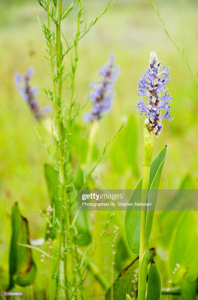 Purple Wildflowers : Stock Photo