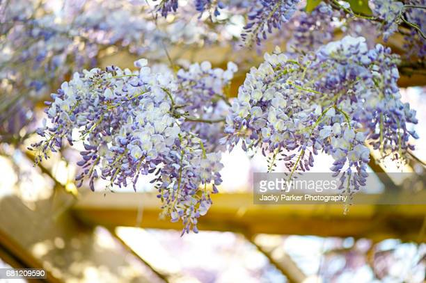 purple wisteria flowers over a gazebo - purple lilac stock pictures, royalty-free photos & images