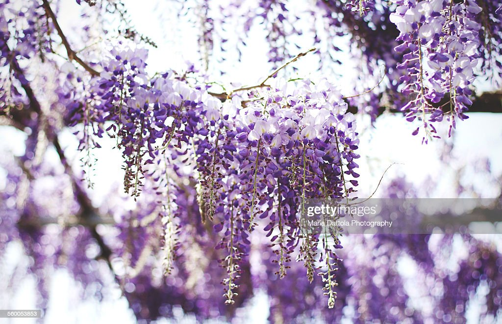 Purple wisteria flowers : ストックフォト