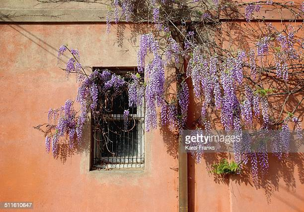 Purple wisteria vine against a adobe wall