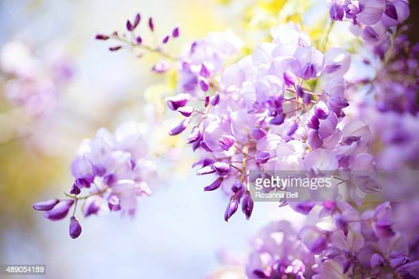 purple wisteria with blue skies - glycine photos et images de collection