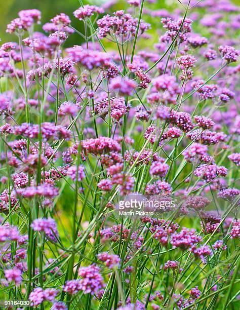 Purple yarrow achilea