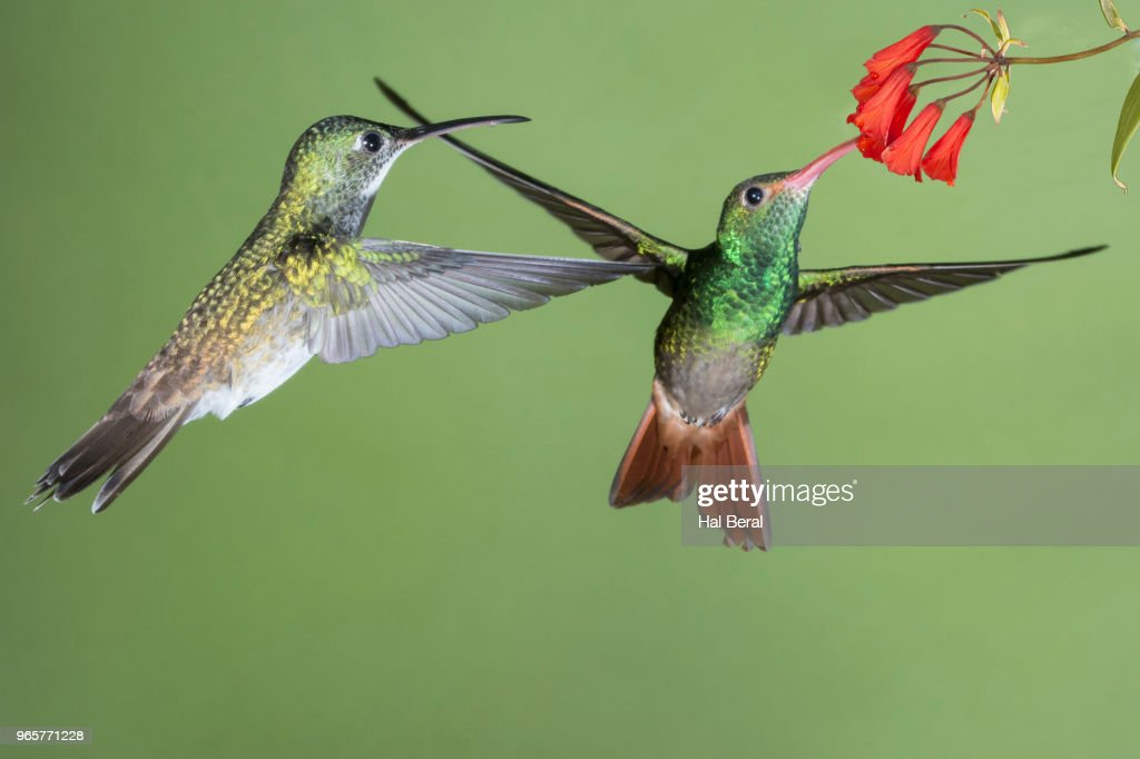 Purple-Bibbed Whitetip Hummingbird female waits while Rufous-Tailed Hummingbird feeds on flower : Stock-Foto