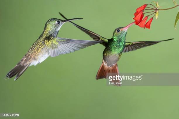 purple-bibbed whitetip hummingbird female waits while rufous-tailed hummingbird feeds on flower - braunschwanzamazilie stock-fotos und bilder