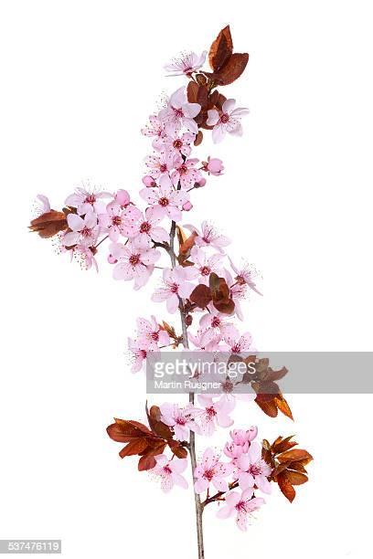 Purple-leaf plum (Prunus cerasifera nigra)
