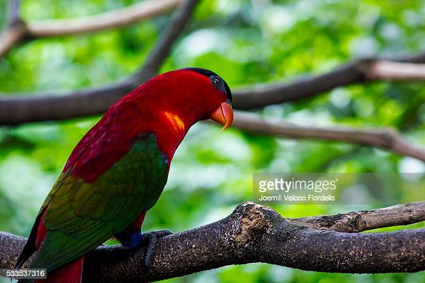 purple-naped lory - joemill flordelis stock pictures, royalty-free photos & images