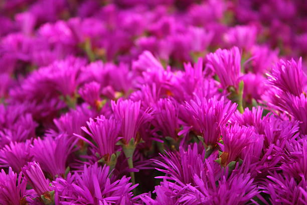 Free hot pink images pictures and royalty free stock photos purplepink flowers mightylinksfo