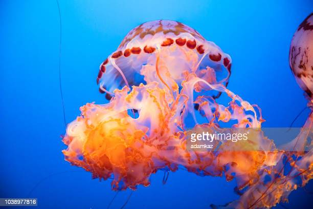 Purple-Striped Jellyfish Floating in Water