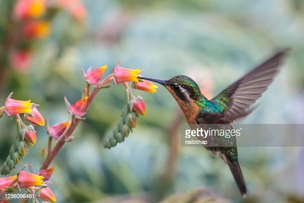 colibrí de la gema de montaña de garganta púrpura en costa rica - pájaro tropical fotografías e imágenes de stock