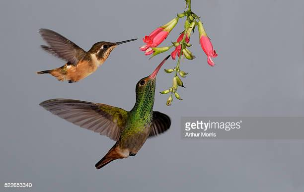 purple-throated woodstar and rufous-tailed hummingbirds at flower - two animals stock pictures, royalty-free photos & images