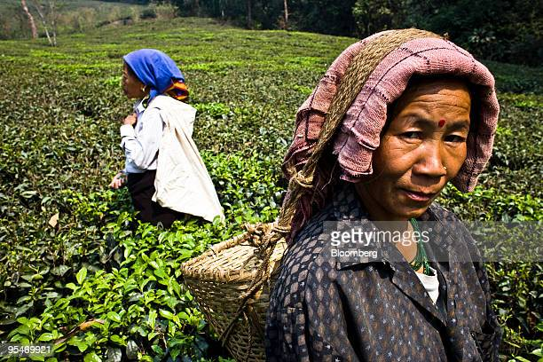 Pushpa Chettri a 49 year old tea picker right poses for a photograph while picking the first flush tea leaves at the Makaibari Tea estate in...
