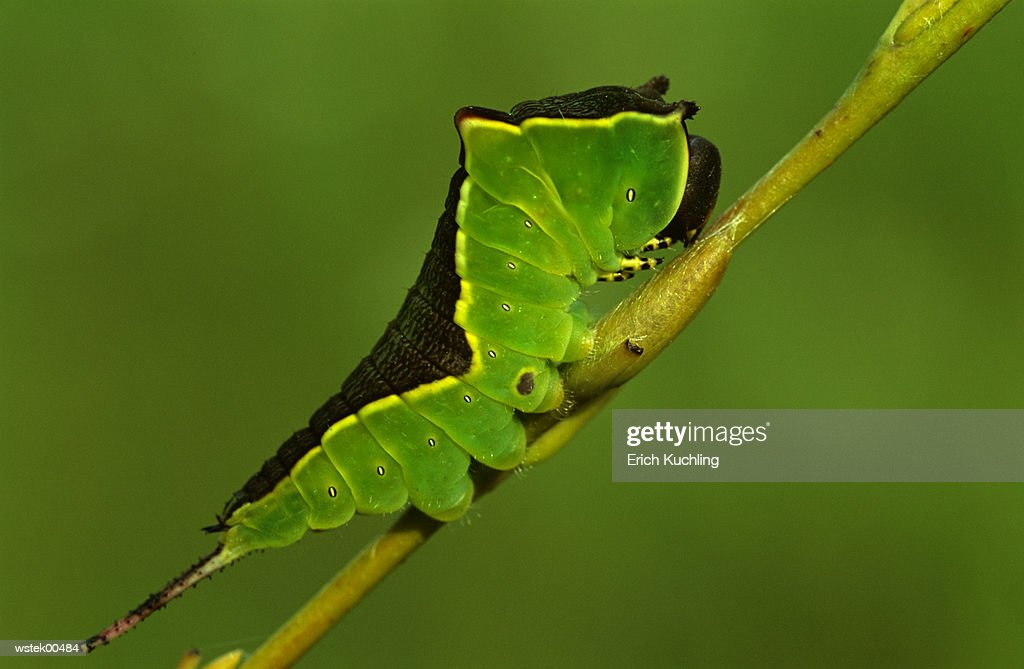 Puss moth caterpillar, Cerura Vinula, close up : Foto de stock