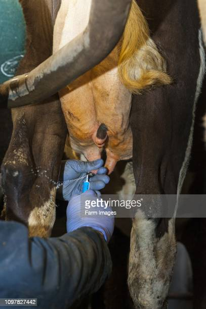 Putting antibiotics into a dairy cows udder as part of routine drying up protection for when cow is not giving milk Cumbria UK