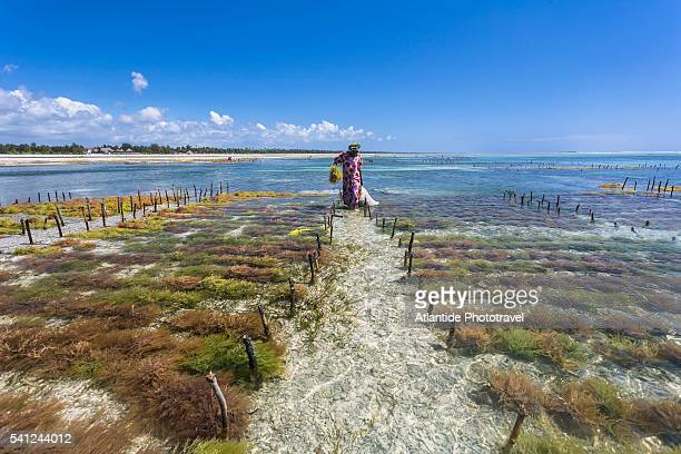 Pwani Mchangani, woman collecting algae